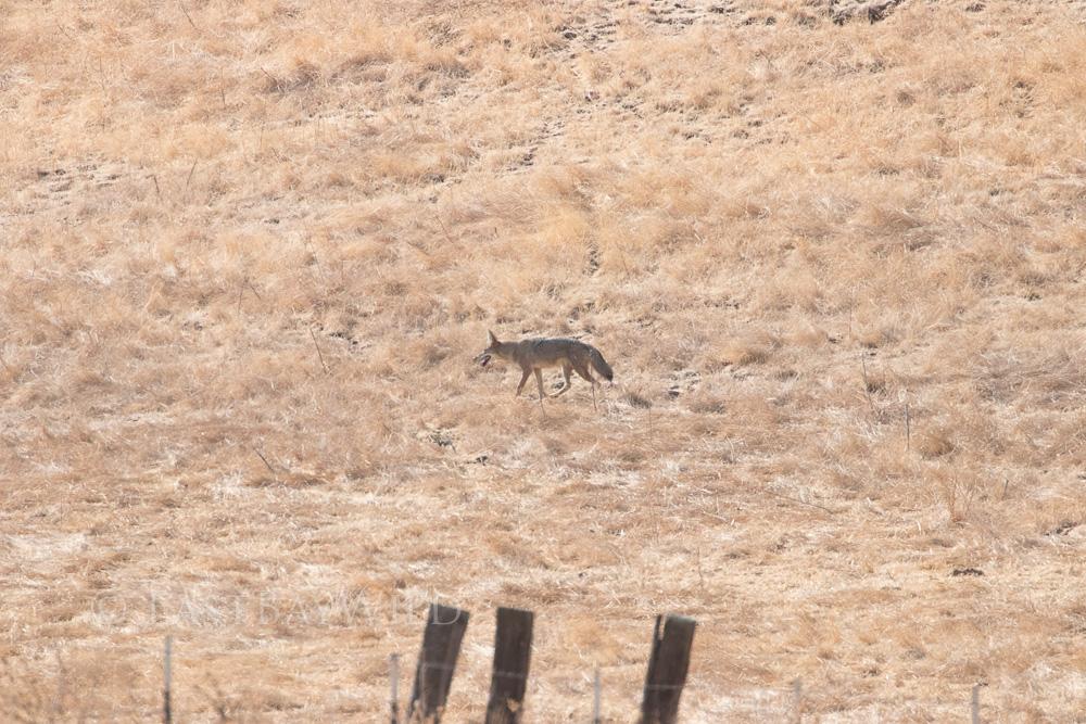 Coyote Brushy Peak