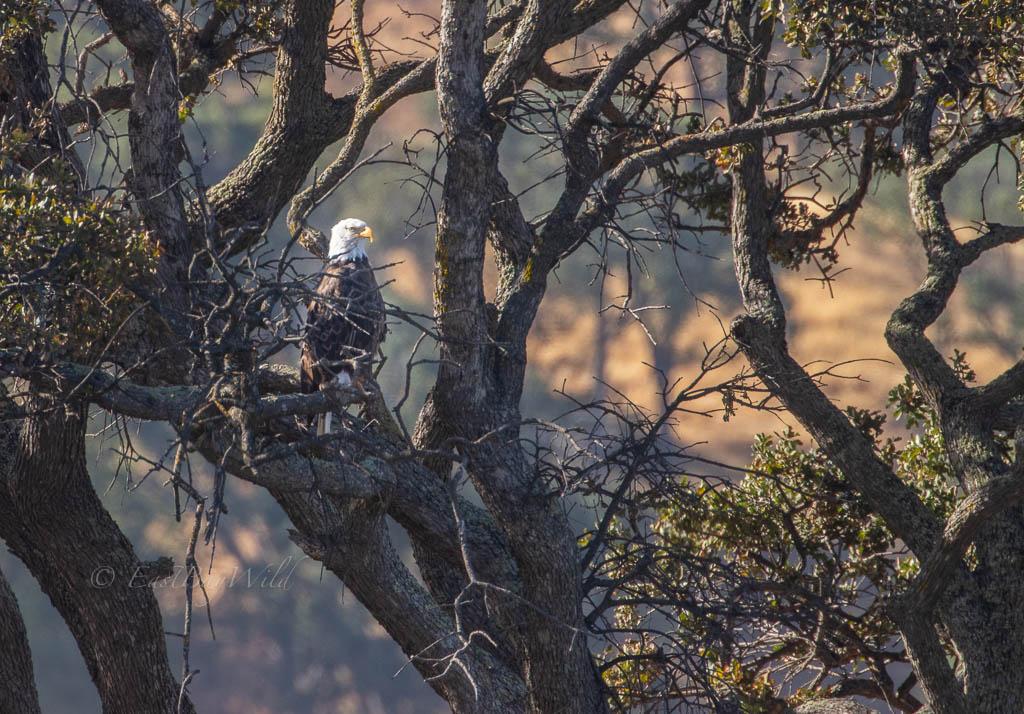 Bald Eagle at Lake Del Valle