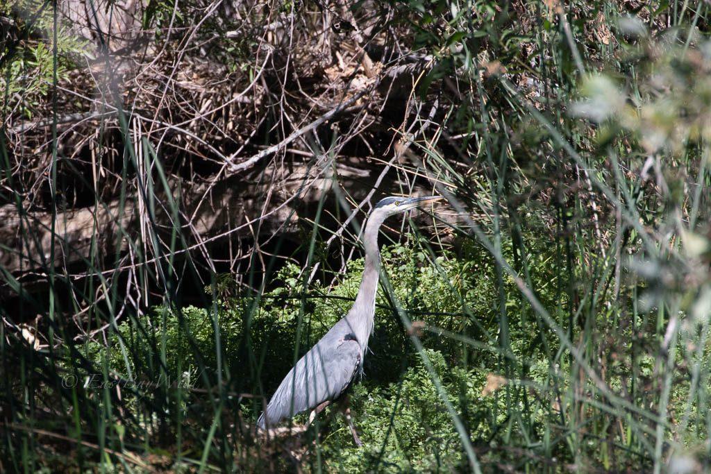 Great Blue Heron in the Arroyo Del Valle