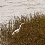 Great egret on the western shore