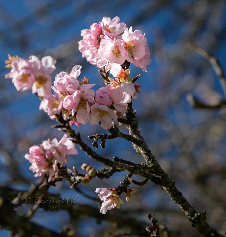 Early blooming plum (?) tree along Vista Grande Road