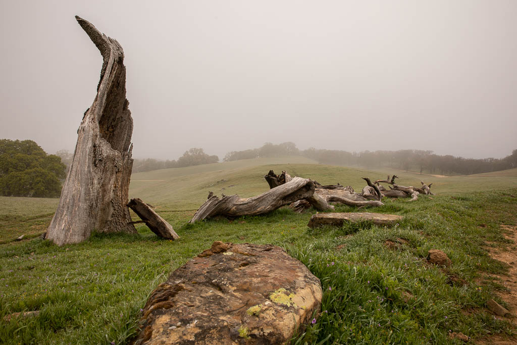 Old tree stump in the fog at Morgan Territory