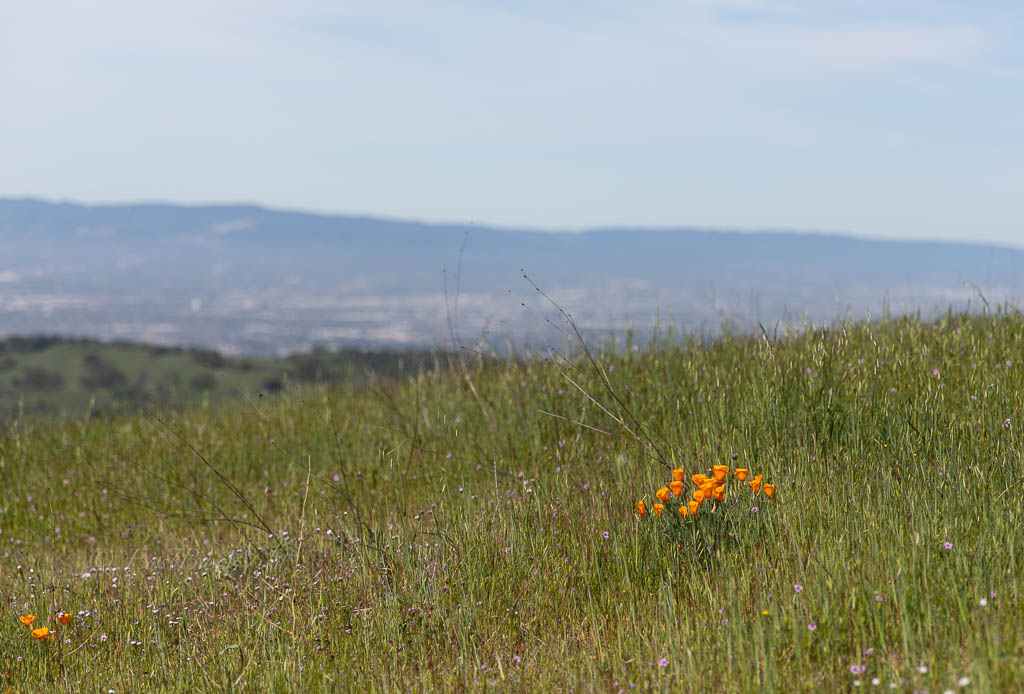 A cluster of poppies with the San Jose valley bellow in Joseph Grant County Park