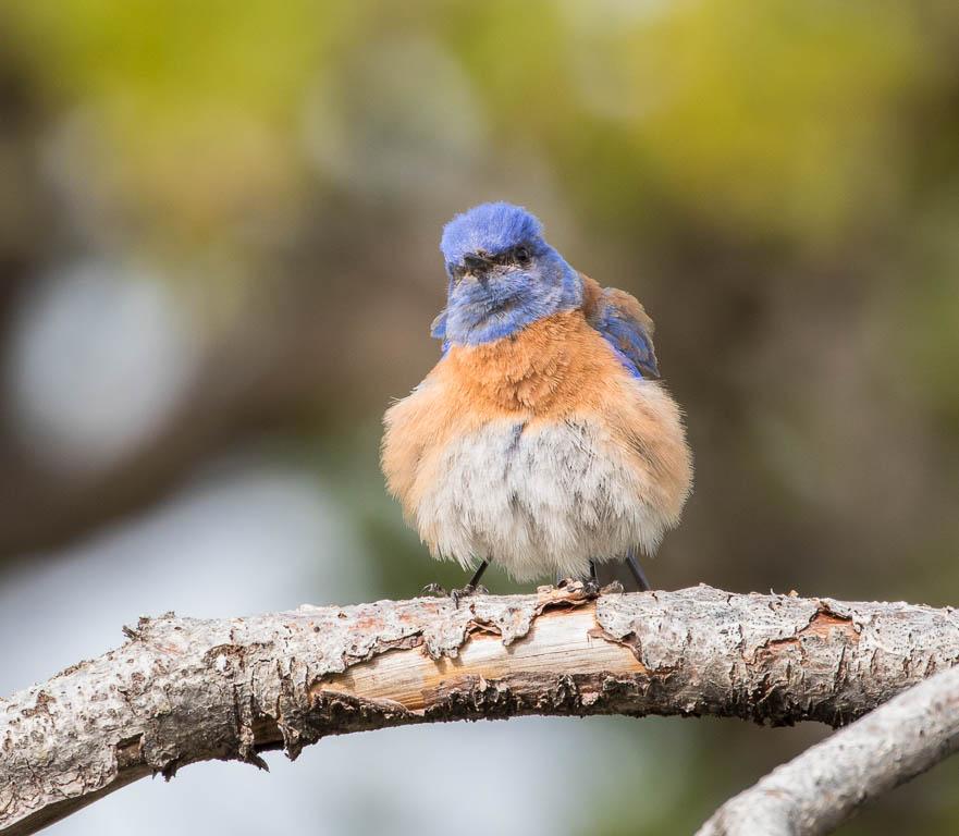 Western Bluebird Ohlone Trail